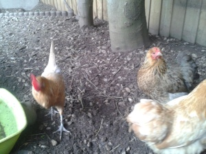 Heidi, Holly and Bo... Sunny was busy laying an egg!!