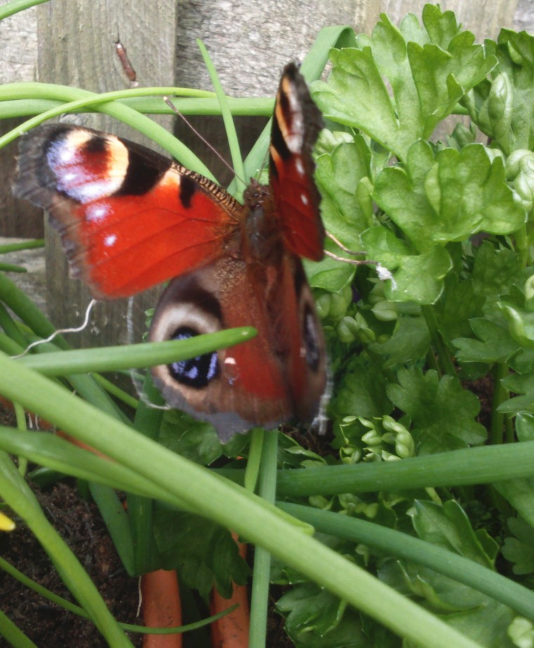 Mrs Butterfly like the parsley...