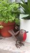 little garden robin