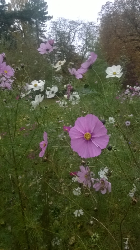 and if you know where to look you can still find cosmos