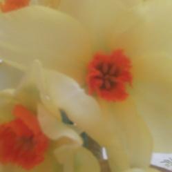 lemon daffodils