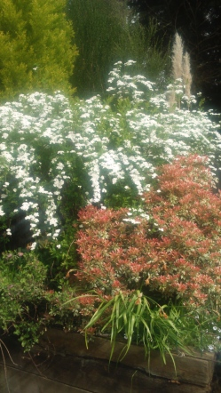 bridal spray spirea